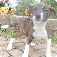 Adopt A Pet :: Shika - West Chicago, IL