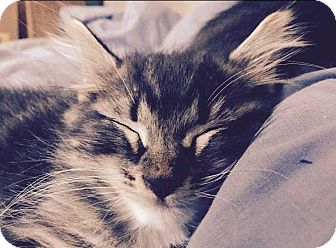 Domestic Longhair Kitten for adoption in Denver, Colorado - Boots
