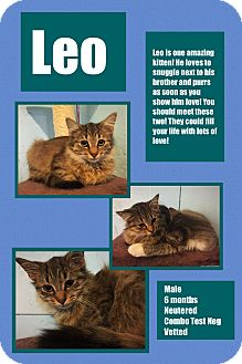 Domestic Longhair Kitten for adoption in CLEVELAND, Ohio - Leo