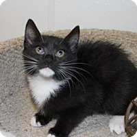 Domestic Shorthair Kitten for adoption in Greensboro, North Carolina - Silkie