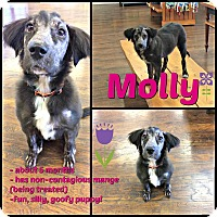 Chow Chow/Labrador Retriever Mix Puppy for adoption in Colmar, Pennsylvania - Molly