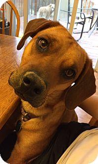 Beagle Mix Dog for adoption in O'Fallon, Missouri - Penny