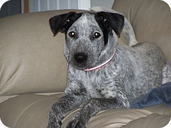 Blue Heeler Mix Dog for adoption in Apache Junction, Arizona - Daisy
