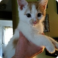 Domestic Shorthair Kitten for adoption in Whitehall, Pennsylvania - Cow
