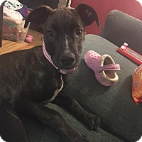 Adopt A Pet :: Precious - Brooklyn Center, MN