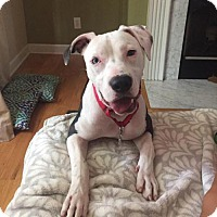 Pit Bull Terrier Mix Dog for adoption in Charlotte, North Carolina - Tilley