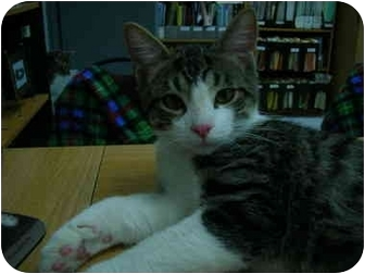 Domestic Shorthair Kitten for adoption in Windsor, Ontario - Sam
