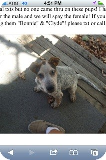 Australian Cattle Dog Mix Dog for adoption in Conway, Arkansas - Clyde