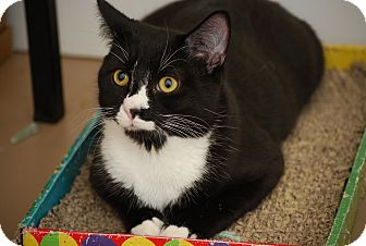 Domestic Shorthair Kitten for adoption in Trevose, Pennsylvania - Sparrow