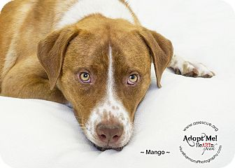 Labrador Retriever/Pit Bull Terrier Mix Dog for adoption in Phoenix, Arizona - Mango