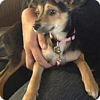 Adopt A Pet :: Juno - Encinitas, CA