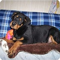 Adopt A Pet :: Rotty girl - Antioch, IL