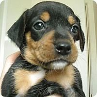 Adopt A Pet :: Belevedere - Novi, MI