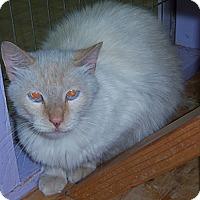 Adopt A Pet :: Simba1 - Whittier, CA