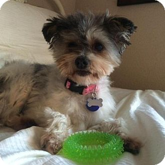 Northern california yorkshire terrier rescue