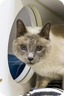 Siamese Cat for adoption in Baton Rouge, Louisiana - Sassy
