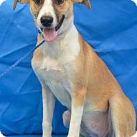 Adopt A Pet :: Camile - Charlemont, MA