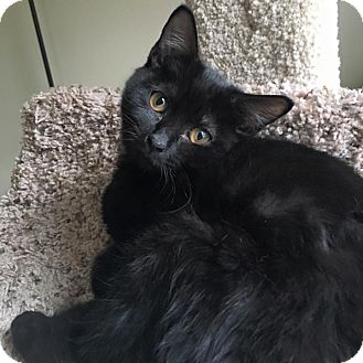 Domestic Shorthair Cat for adoption in Richmond, Virginia - Jaina