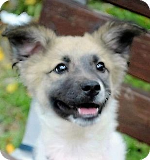 Shepherd (Unknown Type) Mix Puppy for adoption in San Francisco, California - Dolly