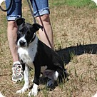 Adopt A Pet :: Oreo (Has application)
