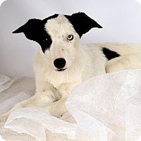 Adopt A Pet :: Xena BC - St. Louis, MO