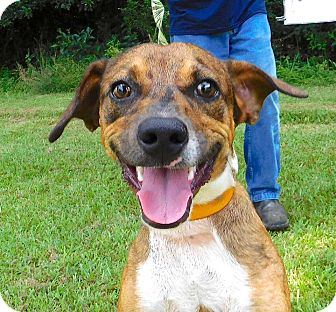 Hound (Unknown Type)/Catahoula Leopard Dog Mix Puppy for adoption in St. Francisville, Louisiana - Danny
