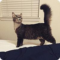 Adopt A Pet :: Boots - Gainesville, FL