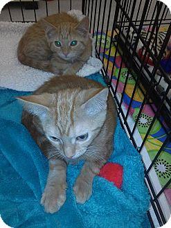 Domestic Shorthair Kitten for adoption in Northfield, Ohio - Carrie