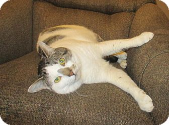 Domestic Shorthair Cat for adoption in Mebane, North Carolina - Tom