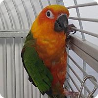 Adopt A Pet :: Kiwi - Grandview, MO