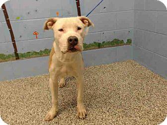 Boxer/Pit Bull Terrier Mix Dog for adoption in San Bernardino, California - URGENT on 10/15 SAN BERNARDINO