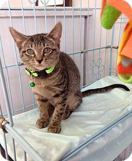 Domestic Shorthair Kitten for adoption in Plano, Texas - Clara