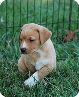 Labrador Retriever Mix Puppy for adoption in Hanover, Pennsylvania - Jane Austen