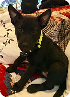 Labrador Retriever Mix Puppy for adoption in Portland, Oregon - Adam