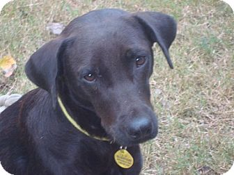 Labrador Retriever Dog for adoption in Austin, Texas - Mama Bella