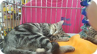 Domestic Shorthair Kitten for adoption in Franklin, Indiana - Bogie