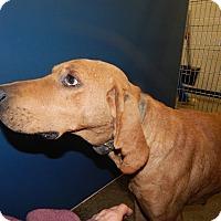 Adopt A Pet :: Buddy - Henderson, NC