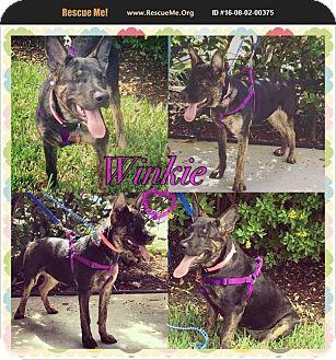 Belgian Shepherd Mix Puppy for adoption in Homestead, Florida - Winkie