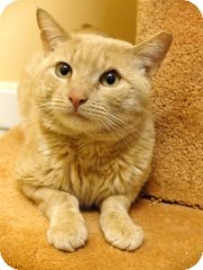 Domestic Shorthair Cat for adoption in Medford, Massachusetts - Evan