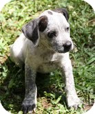 German Shorthaired Pointer/Hound (Unknown Type) Mix Puppy for adoption in Brattleboro, Vermont - Frodo