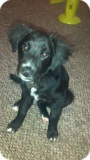 Retriever (Unknown Type)/Labrador Retriever Mix Puppy for adoption in Morgantown, West Virginia - Annie