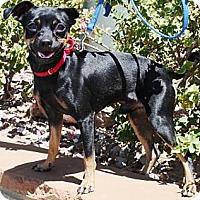 Adopt A Pet :: Nemo - Gilbert, AZ