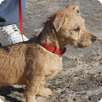 Adopt A Pet :: Dazzle - Lockhart, TX