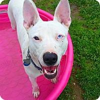 Adopt A Pet :: Blu *DEAF* - Freeport, ME