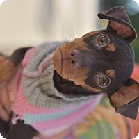 Adopt A Pet :: Pebbles - Santa Monica, CA