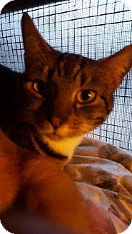 Domestic Shorthair Cat for adoption in New Bedford, Massachusetts - Buddy
