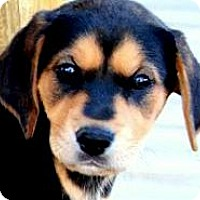 Adopt A Pet :: MISS PEPPER(THE SURPRISE PUPPY - Wakefield, RI