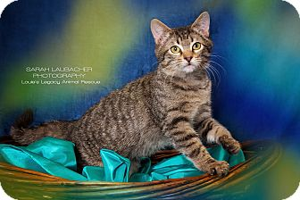 Domestic Shorthair Cat for adoption in Cincinnati, Ohio - Tommy