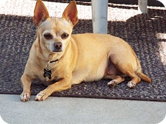 Chihuahua Mix Dog for adoption in Redondo Beach, California - Lola the Chi
