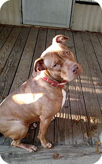 Pit Bull Terrier Mix Dog for adoption in Charlotte, North Carolina - Cali - Courtesy Listing